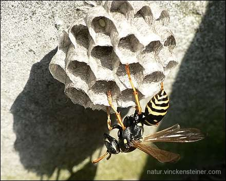 Polistes nimpha. Foto: KLaus Steiner (2006)